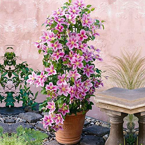 Clematis Waldreben Blumensamen 100 Pcs, Pflegeleicht Winterhart Mehrjährige Blumentöpfe Schnellwachsende Kletterpflanzen Zierstrauch Duftenden Blüten Saatgut