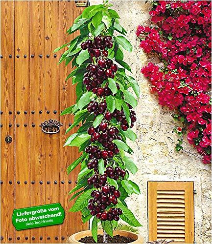 BALDUR-Garten Säulenkirsche 'Garden Bing®', Kirschbaum 1 Pflanze, Prunus avium