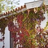Wilder Wein Parthenocissus quinquefolia, kletternd und kräftig zur Wandbegrünung Topf gewachsen (100-150cm)