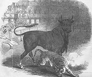 SPAIN. Bull & tiger fight, Plaza de Toros, Madrid - 1849 - old antique vintage print - engraving art picture prints of Spain Cows - Illustrated London News
