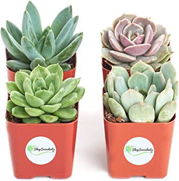 Shop Succulents | Radiant Rosette Collection | Assortment of Hand Selected, Fully Rooted Live Indoor Rose-Shaped Succulent Plants, 32-Pack