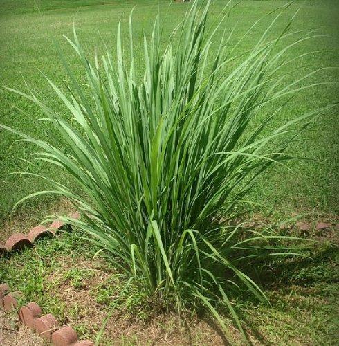 Zitronengras - Cymbopogon flexuosus - 35 Samen