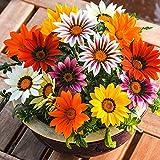 Fnho Semillas de Flores Multicolores,Maceta para Plantas de jardín/Interiores,Medalla, crisantemo y balcón de Cultivo en Maceta-Color Mezclado_20grain