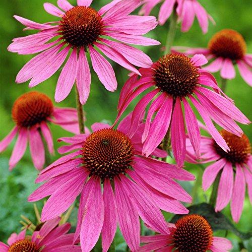 Roter Sonnenhut - Echinacea purpurea - Bienenweide - Zier- / Arzneipflanze - 200 Samen