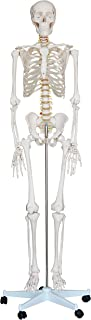 KS Professional - Mr. Hanks Human Anatomy Skeleton Life Full Size Model 6 ft. Tall with Stand. Perfect for Medical Professionals, Students, Teachers, Educators, Classroom . All Parts are Adjustable.