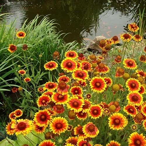Gaillardia Indian Blanket Flower  #85