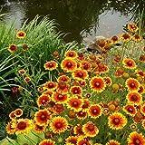 Non GMO Bulk Annual Gaillardia Seeds Indian Blanket Flower -Gaillardia pulchella (1/4 Lb) 56,250 Seeds