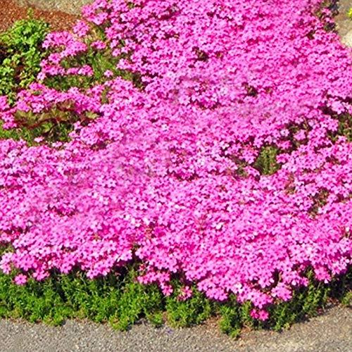 500 Stück Rock Cress Seeds Leicht zu züchten Bodendecker Blume Mehrfarbige Grünlandpflanzensamen für den Rasen - Pink