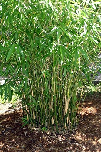 Bambusa Green Hedge Bamboo - Non-Invasive, Clumping Bamboo t