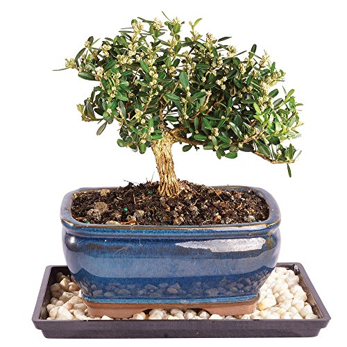 Brussel's Live Harland Boxwood Outdoor Bonsai Tree - 4 Years Old; 8' to 10' Tall with Decorative Container, Humidity Tray & Deco Rock