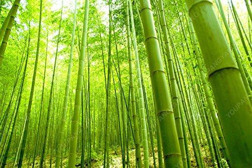 50 pcs \ sac pot hybride, graines rares de bambou, l'air pur, maison décoration rose, couleurs rouge, jaune, vert, les plantes en pot bonsaï noir