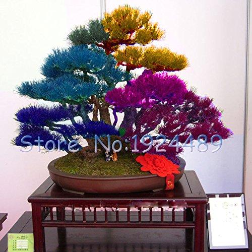 variété unique de couleurs mélangées graines de l'érable japonais mini-graines bonsaï bonsaï graines d'érable Graines jardin bonsaï 50PCS