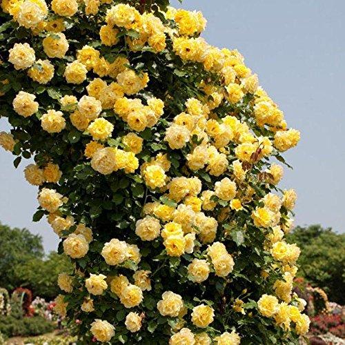YELLOW Kletterrose Spalier Gartenlaube Dekor Samen