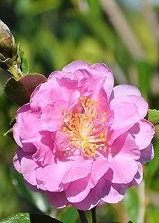 Best camellia pink stella Reviews