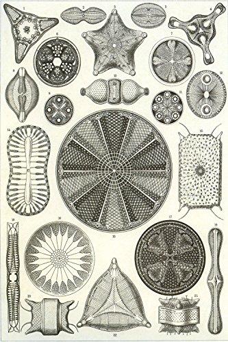 Vintage Posters Ernst Haeckel's Diatoms (Diatomea) - Biological Illustration Poster Reproduction (18' x 24')