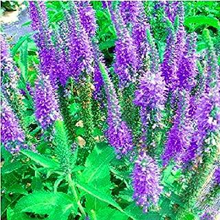 (Royal CandlesAmbizu Veronica Spicata 'Royal Candles' Spiked Speedwell Garden Perennial Flower Seeds, Original Pack, 50 Seeds