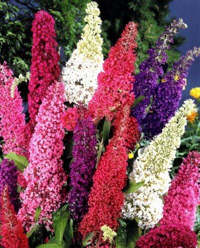 Sommerflieder Royal Red® rot blühend. 1 Pflanze
