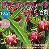 ドラゴンフルーツ 赤肉&白肉 各1個【果樹苗 10.5cmポット/赤肉&白肉 各1個セット】サボテンの仲間。丈夫で育成が簡単!花は月下美人に似ており、一晩限り咲く豪華な花は美しく、南米では「貴族の夫人」と呼ばれています。市場で流通している果実は早取りされ蒸熱処理を施されて甘みが乗っていない事が多いです。完熟まで育てて是非本来の味を味わってください。また食物繊維や栄養価が高いので、美容と健康にも良い!栄養満点のスーパーフルーツ!自社農場から新鮮直送!!