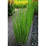 60 Pieces Chinese Bamboo Seeds Giant Patio Seeds Mini Moso Bamboo Seeds for DIY Garden Planting
