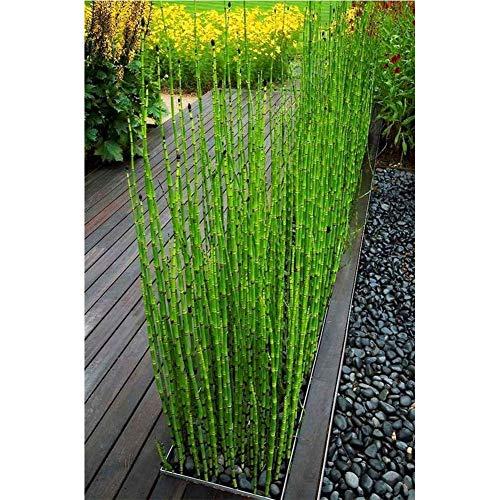 60 Stücke Chinesischen Bambus Samen Riesen Terrasse Samen Mini Moso Bambus Samen Für DIY Garten Pflanzen