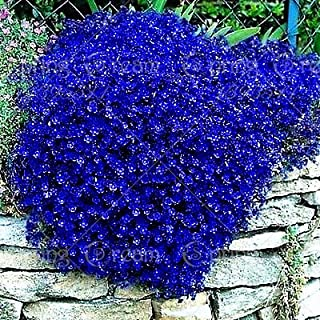 100pcs/bag Creeping Thyme Seeds or Blue Rock Cress Seeds Perennial Ground cover flower, Natural growth for home garden 8