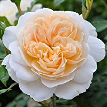Own-Root One Gallon Crocus Rose David Austin Rose by Heirloom Roses