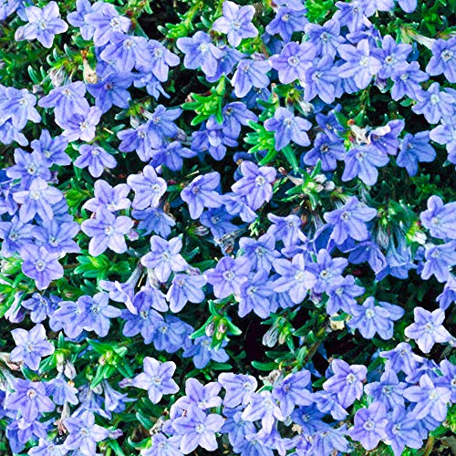 Lithodora Heavenly Blue | Evergreen Perennial | Outdoor Potted Plant | Flowering