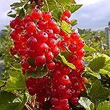 Müllers Grüner Garten Shop Rosetta, großfrüchtige rote Johannisbeere, aromatischer Geschmack, Busch im 3 Liter Topf