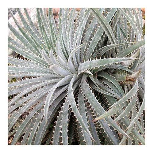 Dyckia sp Chapada Diamantina - Bromelie - 3 Samen