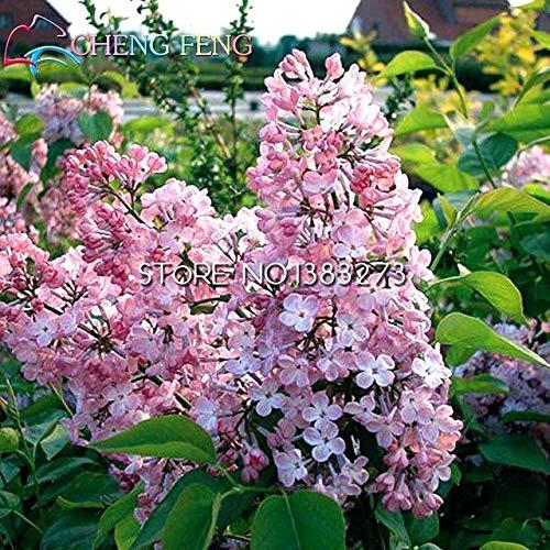 Pinkdose 100 piezas centrales francesas lila Syringa vulgaris Flor Arbusto Bush para plantas gigante planta de jardín Bonsai flor del árbol de la venta Shippi libre: verde del ejército