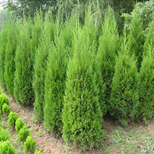 Uojack 20 Stück/Beutel Zypresse, für Koniferen, Bonsai, Pflanzen, Samen zum Selbermachen, Haus, Garten, Gruppen von Elektrogen und Energie