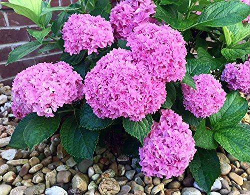 Großblumige Hortensie Hydrangea arborescens Rosa Annabelle - Größenauswahl (35-45cm - Topf 3 Ltr.)