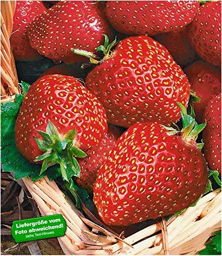 BALDUR Garten Immertragende Erdbeere 'Seascape®', 6 Pflanzen Fragaria Erdbeerpflanzen winterhart