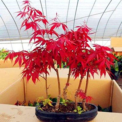 C-LARSS 10 Pezzi Semi Albero Di Acero Giapponese Semi Di Palmatum Giardino Decorazione Della Casa Bonsai