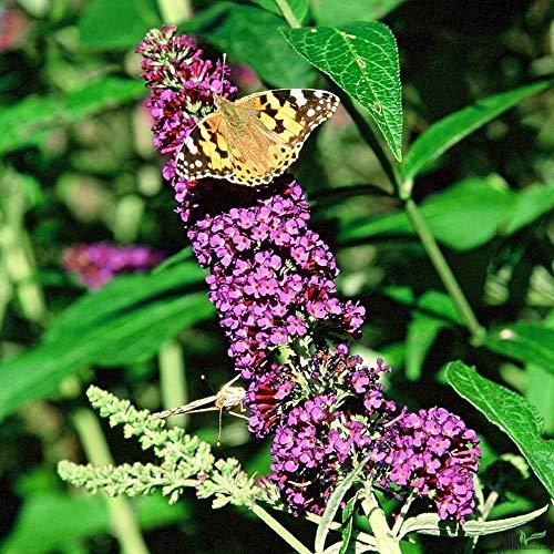 Buddleja davidii Sommerflieder Schmetterlingsstrauch im Topf verschiedene Farben (Empire Blue)