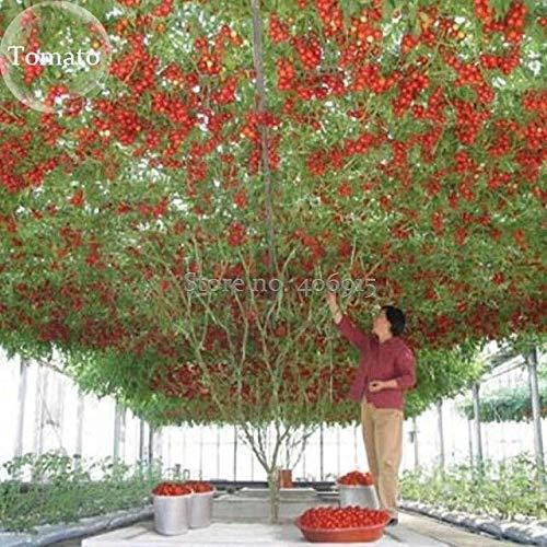 ScoutSeed Erbstück Riesen-Tomatenbaum, 100 Samen, gesunde leckere nahrhafte essbare Früchte
