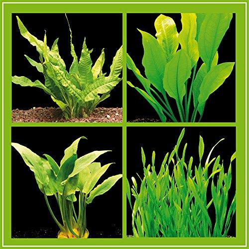 Zoomeister - Kleines Pflanzenset für Barsch-Becken - 4 Bund Wasserpflanzen