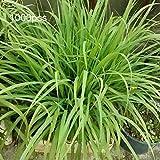 Semillas vegetales 1000Pcs/Bolsa Lemongrass Semillas crecen todo el año fácil cuidado hierba de limón verde Cymbopogon Flexuosus Semillas para horticultura - Lemongrass Seeds