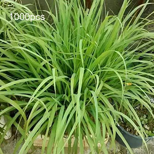 Semillas para plantar, 1000 unidades/bolsa de semillas de limoncillo crecen todo el año fácil cuidado verde limón hierba Cymbopogon Flexuosus semillas para horticultura - semillas de hierba de limón
