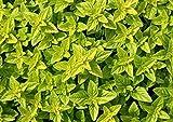 Citron Graines de basilic - Ocimum Basilicum Citriodora