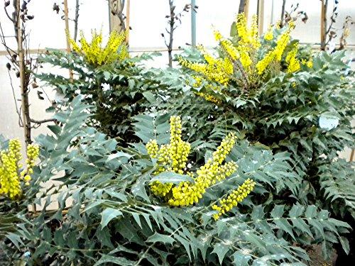 Mahonie 'Winter Sun' - gelbe Blüte - Mahonia media Winter Sun - Containerware 40-60 cm - Garten von Ehren