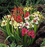 Bulbi da Fiore ALTA QUALITA' per fioritura PRIMAVERILE - ESTIVA - AUTUNNALE (10, Tigridia in Miscuglio)