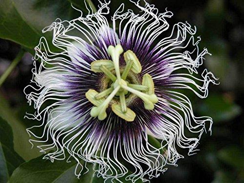Passiflora edulis chérie   20_Seeds POUR NOUS