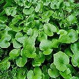 Display08 100 semillas Wasabi de rábano picante vegetal especias para hogar...
