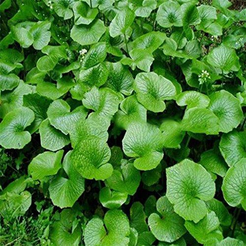 display08 100 Stück Wasabi-Samen, Meerrettich, Gemüse, Kräuter, Gewürz, Heimwerker-Pflanze