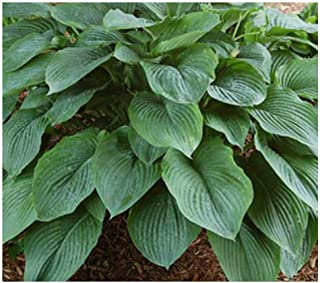Amazoncom Hostas Flowers Plants Seeds Bulbs Patio Lawn