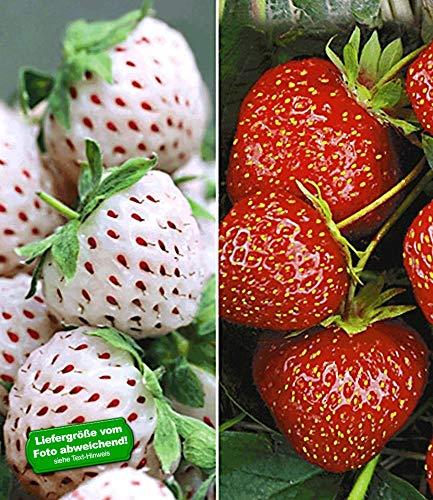 BALDUR-Garten Erdbeeren-Raritäten-Kollektion 'Sengana Selektion &'Natural White®', 9 Pflanzen Fragaria
