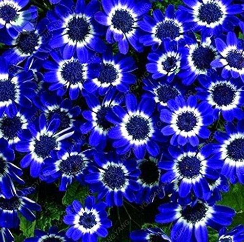 100pcs / sac belle couleur Graines de fleurs rares Tapissant Chrysanthème Graines vivaces Bonsai plantes pour jardin Ornements Bleu ciel