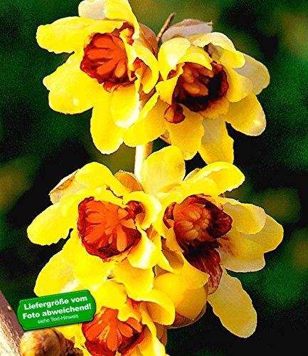 BALDUR Garten Chinesische Winterblüte, 1 Pflanze Chimonanthus praecox