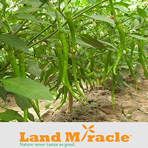 5 Original Pack, 30 graines / paquet, Long Green Cayenne Graines Supper Hot Pepper Graines Hot Chili Vert Graines Terre Miracle D267